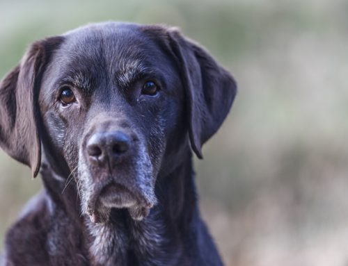 A Lifetime of Wellness: Caring for Your Senior Pet